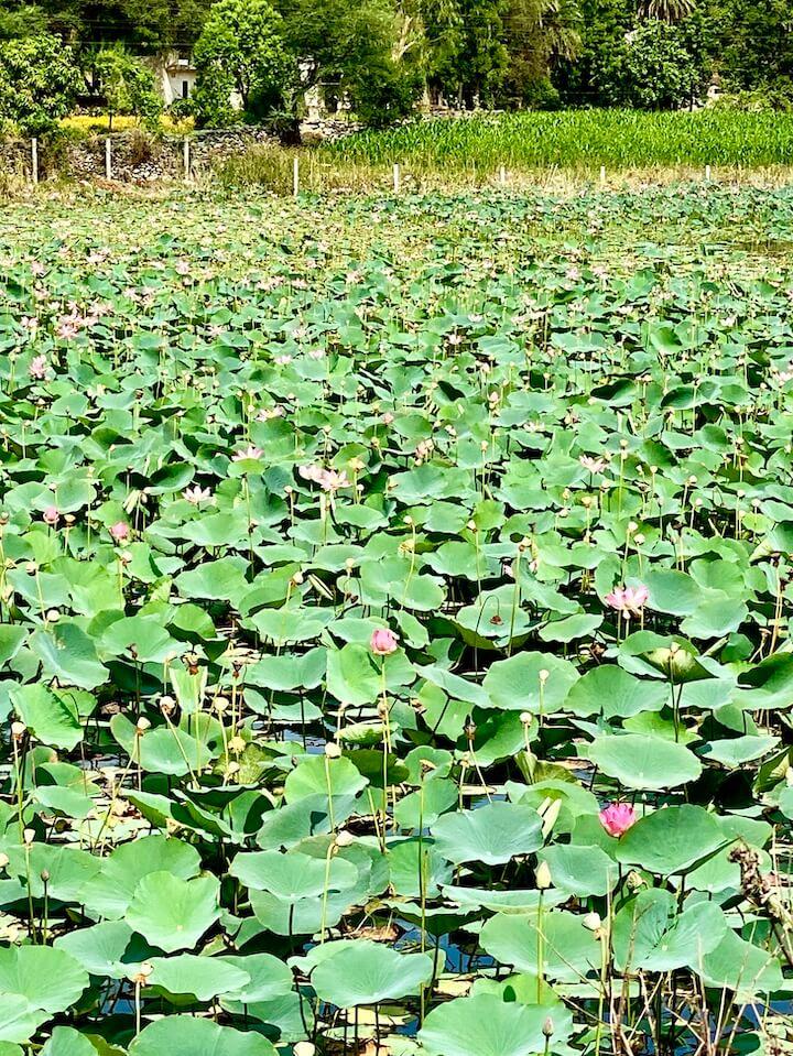 lotus pond outside Udaipur